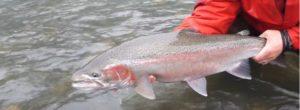 Lee más sobre el artículo Pescado en la Red: 2012 BC Winter Steelhead