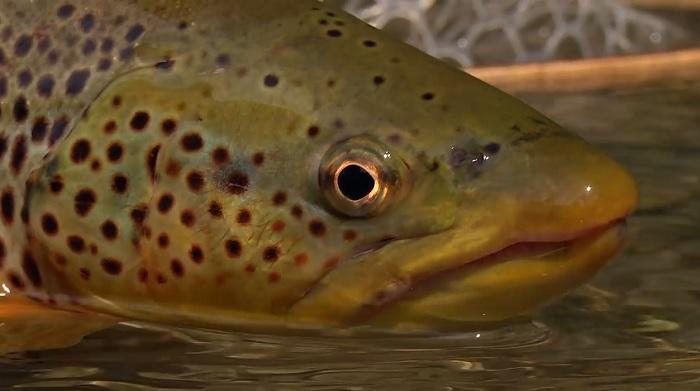 En este momento estás viendo Pescado en la Red: SPRING CREEK BY TODD MOEN