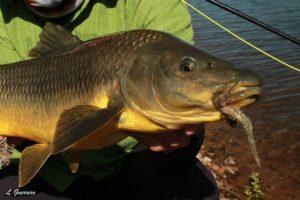 Una pequeña estrategia para ciprínidos depredadores por Luis Guerrero