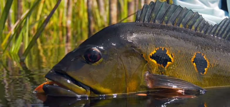 Vídeo: Amazon Peacock Bass – Jungle Fly Fishing by Todd Moen